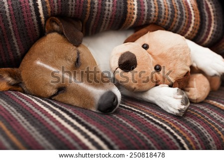 jack russell terrier dog under the blanket in bed , having a siesta and relaxing with best friend teddy bear - stock photo