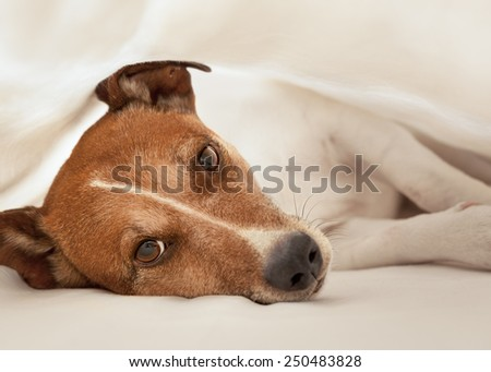 jack russell terrier dog under the blanket or sheets in bed , having a siesta and relaxing - stock photo