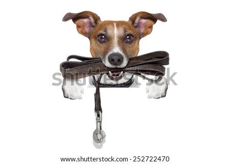 jack russell terrier dog waiting to go for a walk with owner, leather leash in mouth, isolated on white background - stock photo