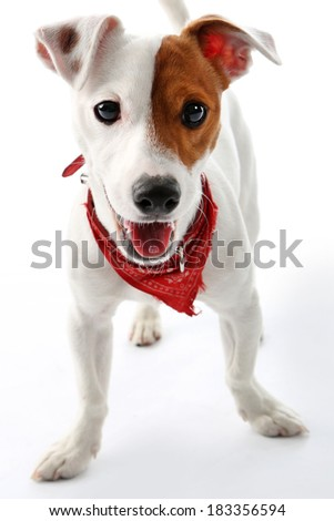 Jack Russell Terrier happy dog  .Portrait of a happy terrier in a red collar on a white background - stock photo