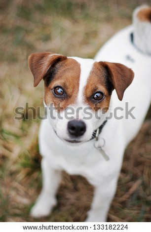 Jack Russell Terrier in nature - stock photo