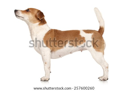 Jack Russell terrier in standing on a white background - stock photo
