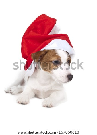 Jack Russell terrier in studio on white background isolated in a New Year's cap