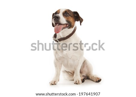 Jack Russell terrier isolatad over white background