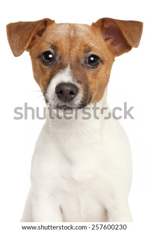 Jack Russell terrier isolated on a white background