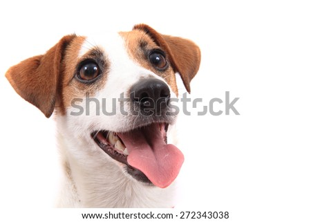 jack russell terrier isolated on the white background - stock photo