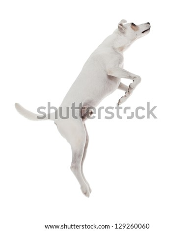 Jack Russell Terrier jumping in front of white background - stock photo