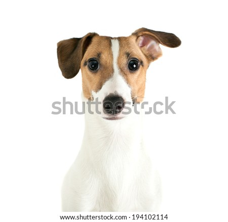 Jack Russell Terrier looking directly at camera with interested look - stock photo