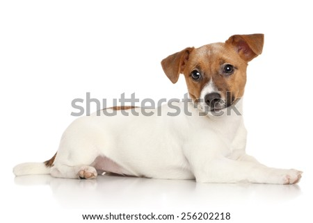 Jack Russell terrier lying on a white background - stock photo
