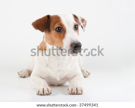 Jack Russell Terrier lying on white. No isolated.