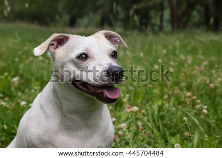 Jack Russell Terrier on a walk