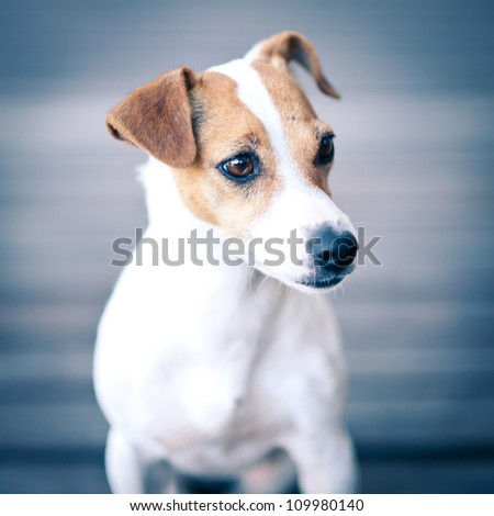 Jack Russell terrier portrait. - stock photo