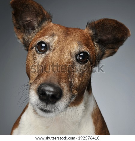 Jack Russell Terrier portrait - stock photo