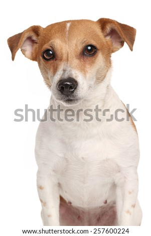Jack Russell terrier. Portrait on isolated white background