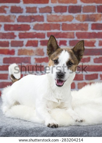 Jack Russell terrier portrait with a red brick wall background.