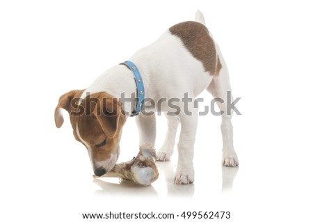 Jack Russell Terrier puppy eating a bone, isolated on white background