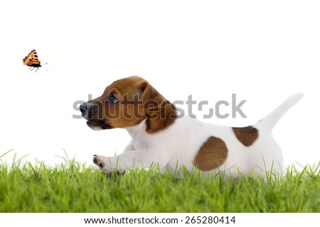 Jack Russell Terrier puppy hunting a butterfly isolated on white background - stock photo