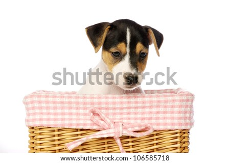 Jack Russell Terrier puppy in a wicker basket isolated on a white background - stock photo