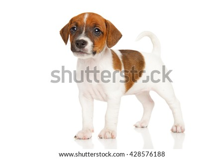 Jack Russell Terrier puppy in stand on white background - stock photo