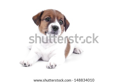Jack Russell Terrier puppy isolated - stock photo