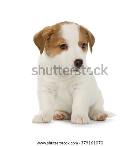 Jack Russell Terrier puppy isolated on white background. Front view, sitting.
