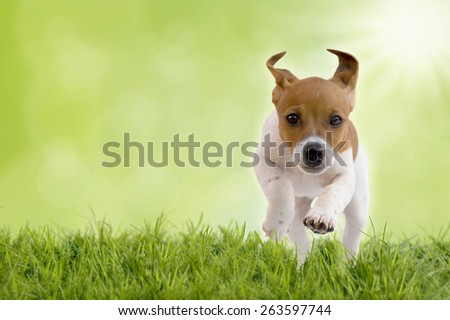 Jack Russell Terrier puppy jumps on meadow bokeh background with sun - stock photo