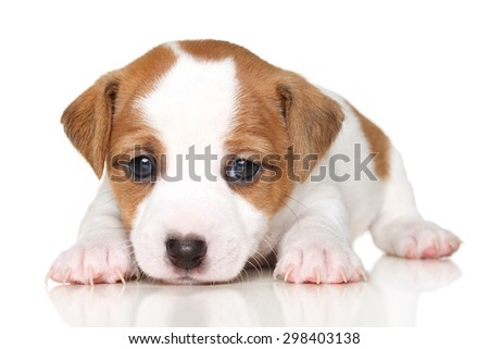 Jack Russell terrier puppy lying in front of white background
