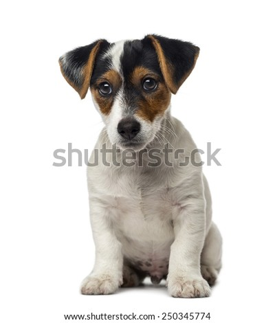 Jack Russell Terrier puppy (2 months old) - stock photo