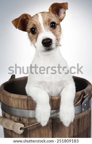 Jack Russell Terrier puppy (3 months old)