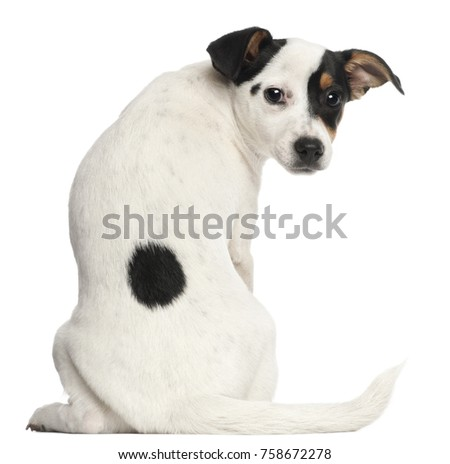 Jack Russell Terrier puppy, 5 months old, sitting in front of white background