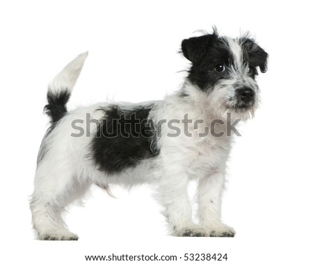 Jack Russell terrier puppy, 4 months old, standing in front of white background - stock photo