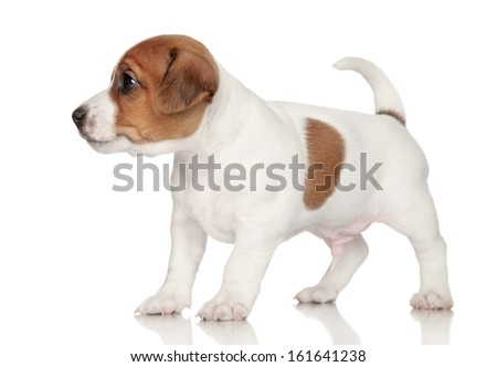 Jack Russell terrier puppy on a white background - stock photo