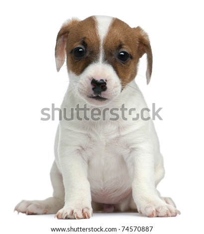 Jack Russell Terrier puppy, 7 weeks old, sitting in front of white background
