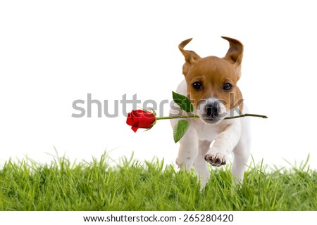 Jack Russell Terrier puppy with red rose isolated on white background - stock photo