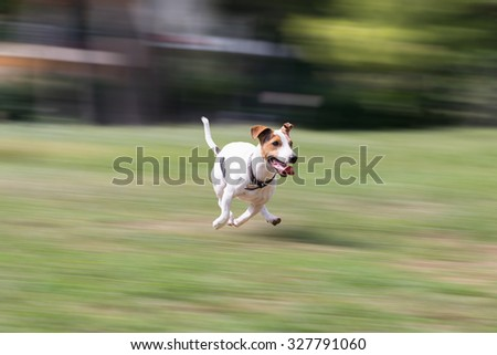 Jack russell terrier running at a park.