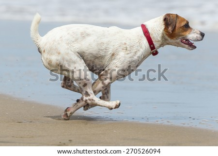 Jack Russell terrier running at full sped on the beach - stock photo