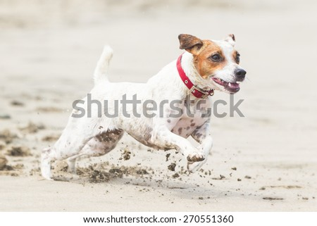 JACK RUSSELL TERRIER RUNNING AT FULL SPEED ON THE BEACH  - stock photo