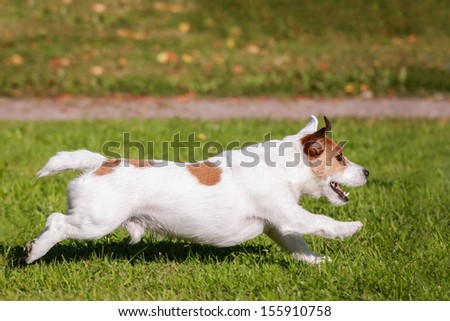 Jack Russell Terrier running on the autumn meadow - stock photo