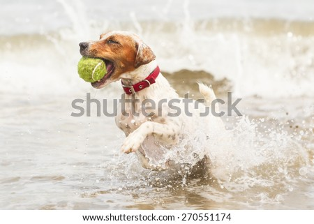 JACK RUSSELL TERRIER RUNNING ON THE BEACH WITH HIS FAVORITE TOY  - stock photo