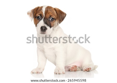 Jack Russell terrier sits in front of white background