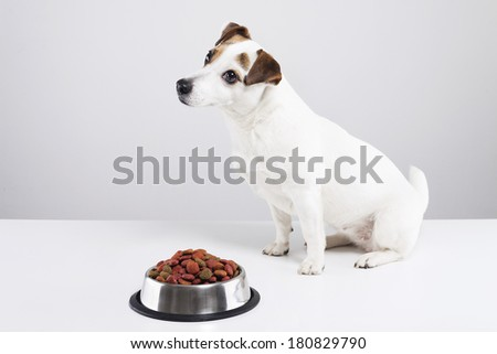 Jack Russell  terrier sitting behind a full bowl of dog food - stock photo