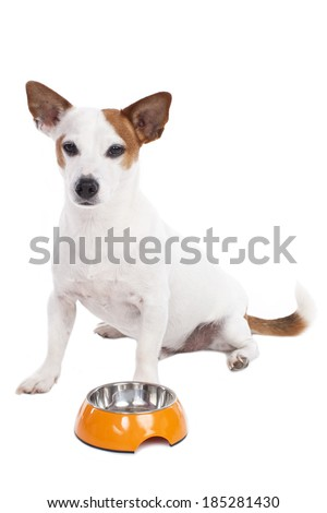 Jack Russell Terrier sitting isolated