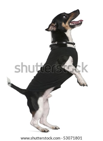 Jack Russell terrier standing on hind legs looking up, 2 and a half years old, in front of white background - stock photo