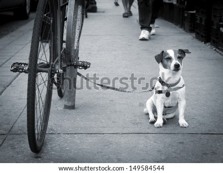 Jack Russell terrier waits patiently for his master.  - stock photo