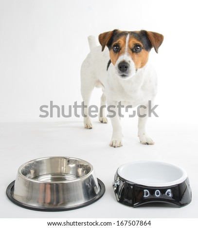 Jack Russell terrier with empty bowl