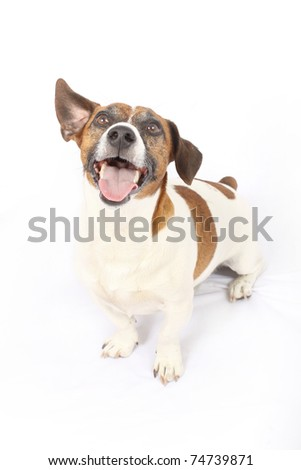 Jack Russell Terrier with one ear aloft - stock photo