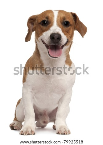 Jack Russel Stock Images Royalty Free Images Amp Vectors