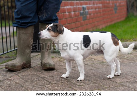 Jack Russell waiting to go for his daily exercise - stock photo
