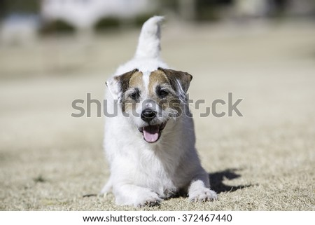 Jack Russell with his front body down - stock photo