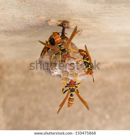 Jack Spaniard Wasps On A Small Nest Caribbean Stock Photo